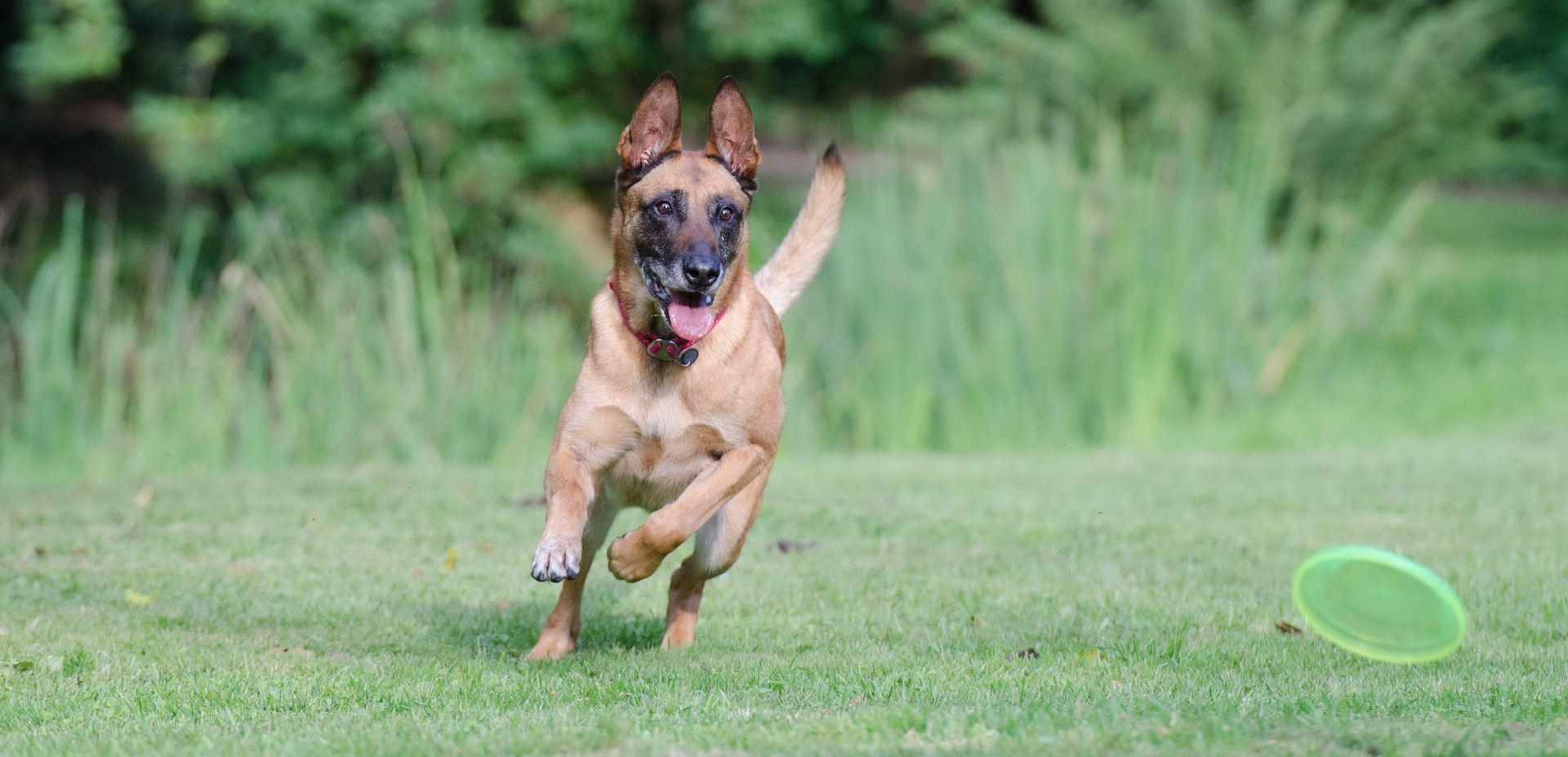 running-dog-672641_1920